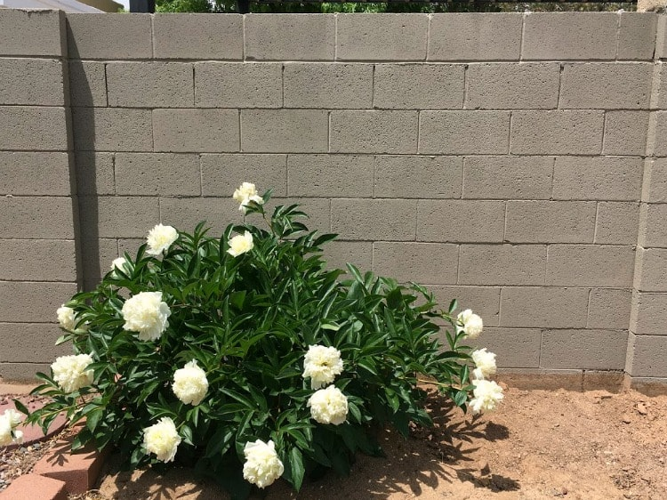 Tan painted concrete wall with flowering bush in front